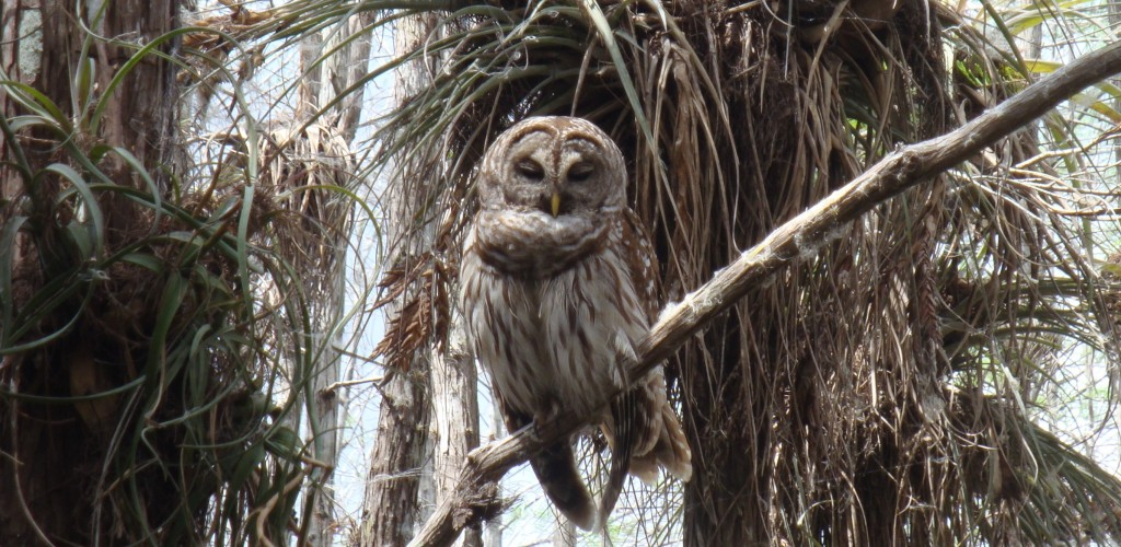 EVER Barred Owl 03.2016 cropped x2